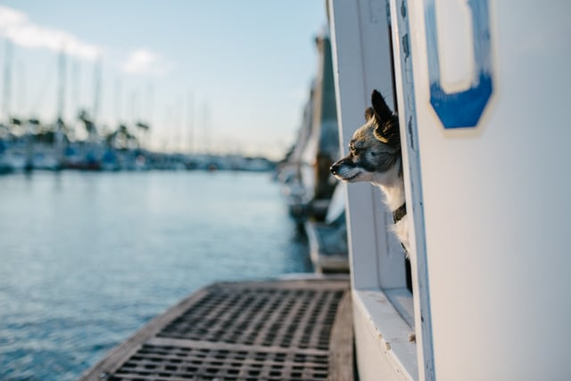 little dog looking out into the marina living on a boat
