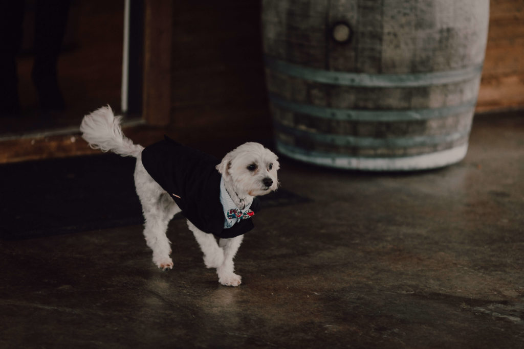 Dog of Honor walking down the aisle in a little dog tuxedo | Nashville Wedding at Arrington Vineyards