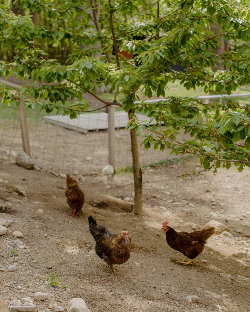 Chickens roam the property of a historic venue and inn in Maine.